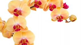 orange fresh  orchids branch  isolated on white background